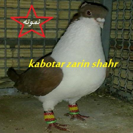 خوشرنگ کاکلی کبوتری بی نظیر