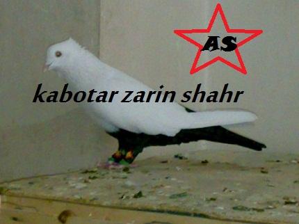 کبوتر دم سیاه پاچه دار