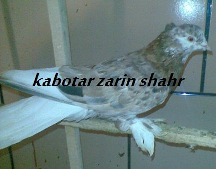 کبوتر دم سفید