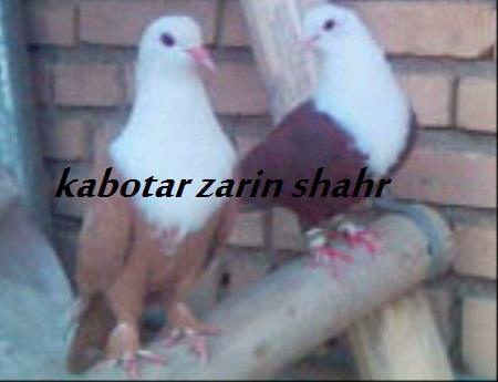 کبوتر نقشی و رنگی خالص ایران