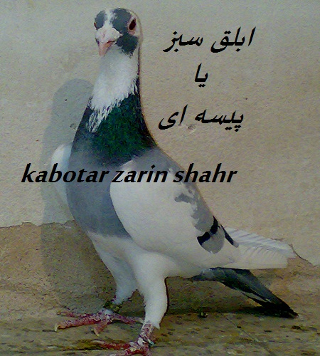 کبوتر ابلغ یا پیسه ای