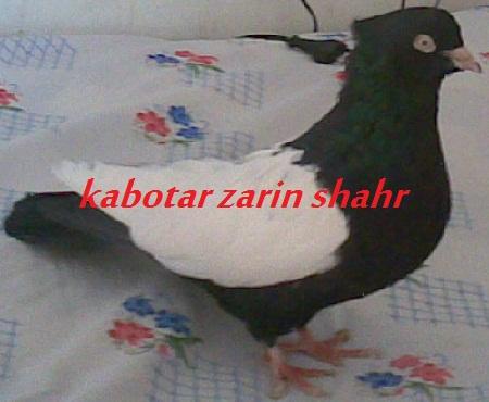 کبوتر سینه ای سیاه
