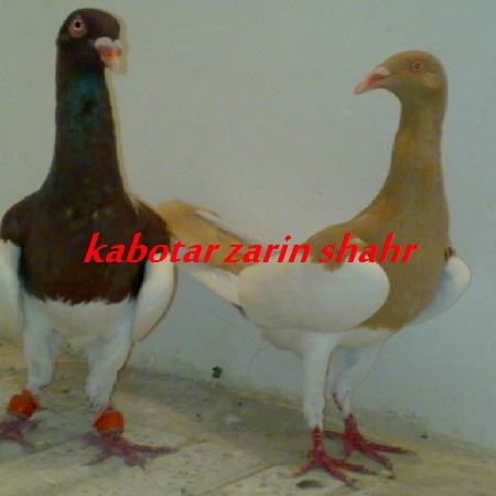 کبوتر یهودی زرد و سرخ