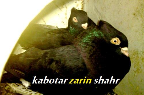 کبوتر زاغ چشم نوک سفید