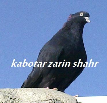 کبوتر سیاه چشم نوک سفید