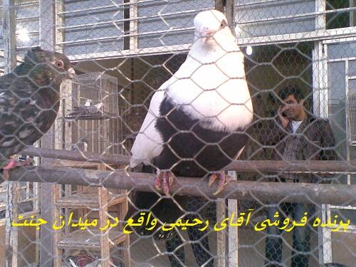 کبوتر فروشی (سله)