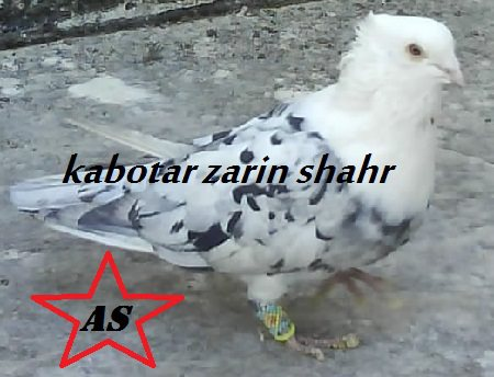 کبوتر رسمی سرور