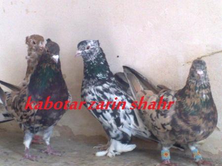 کبوتران سار (سرور یا هفت رنگ ) با خالهای متفاوت